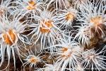D0075017 © Paul Kay - Fried-egg Anemone (Actinothoe sphyrodeta)