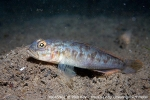 D0045962 © Paul Kay - Fries' Goby (Leseurigobius friesii)