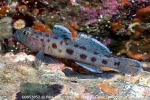 D0053852 © Paul Kay - Leopard-spotted Goby (Thorogobius ephippiatus)